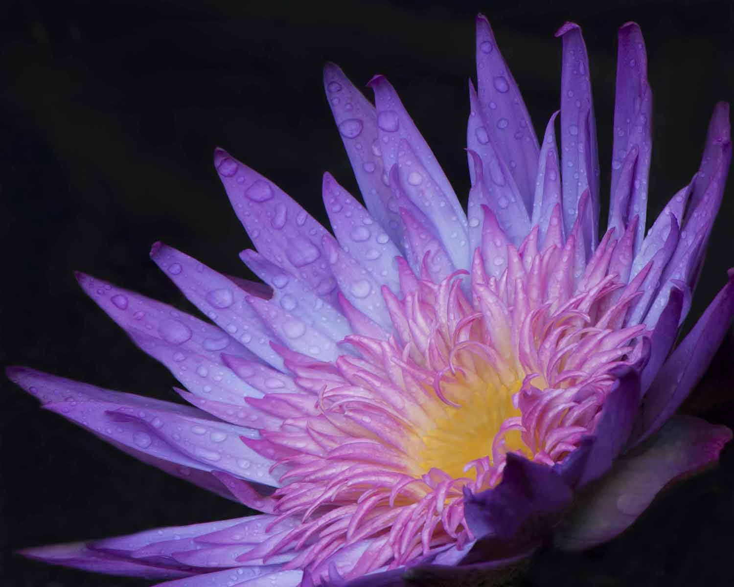 Carolyn Ray - Water lily - Longwood Gardens