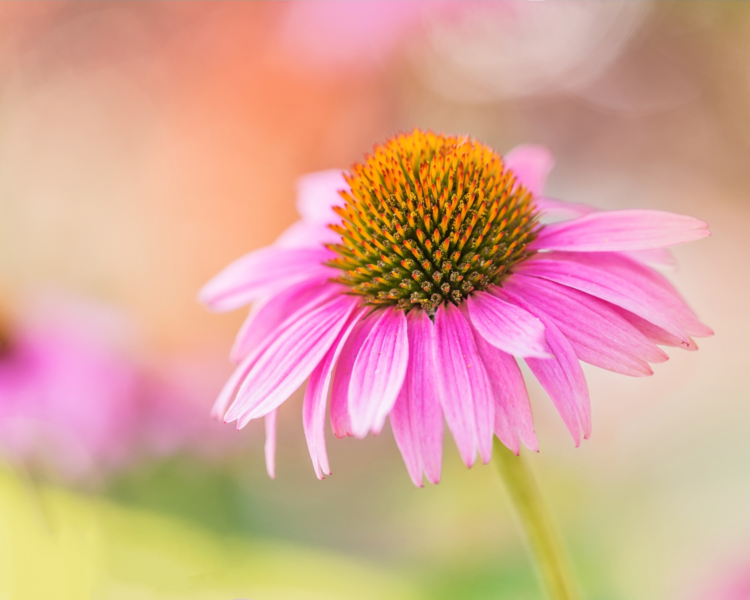 Cathy Kuhlman - Coneflower In My Garden