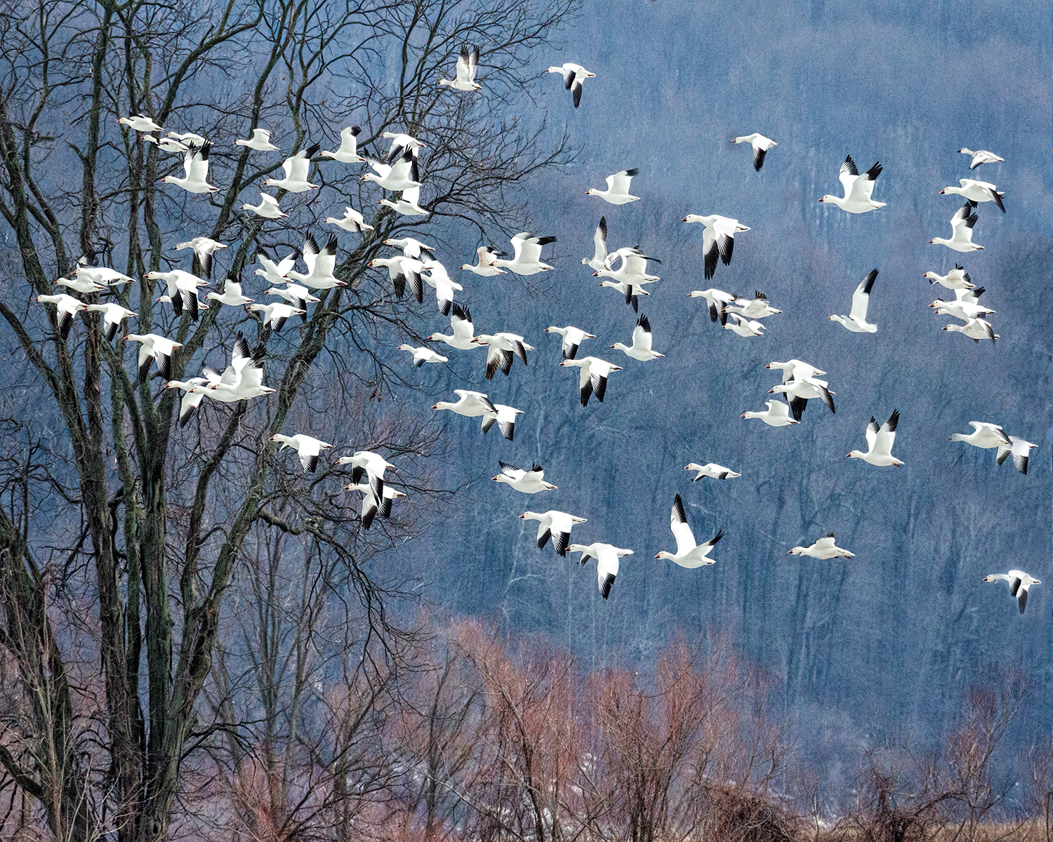 Jim Smigie - Snow Geese Migration- Pennsylvania