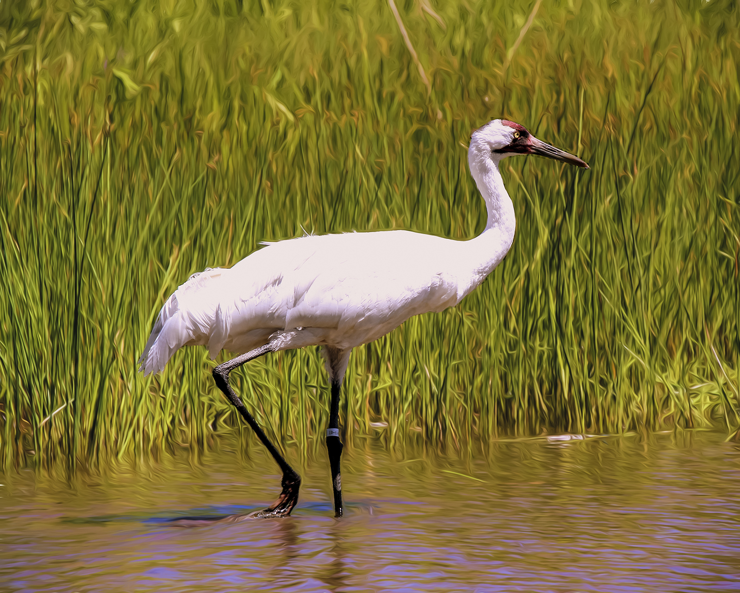 Patrick Fleury - Whooping Crane in Wisconsin
