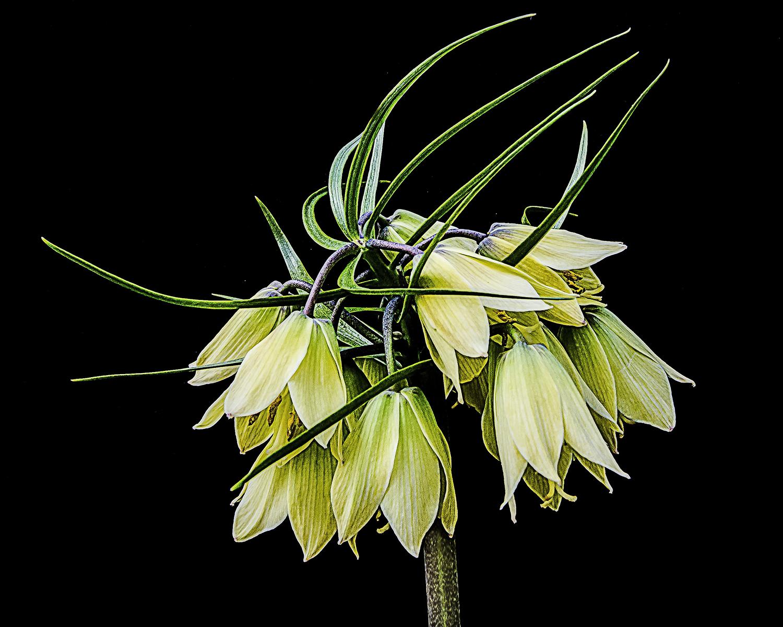 Susan Hare - Chanticleer Flowers